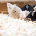 科学者「レバーを押すと隣のネズミに電流が流れるけど餌をやるぞお(ニチャァ)」 ネズミ「俺は押さない」
