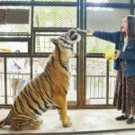 【悲報】動物園、経営が苦境になり、ライオンが傷を付けたジーンズやカワウソの手形をを販売